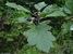 Hungarian Thorn_Crataegus nigra