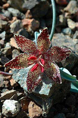 Talus Fritillary_Fritillaria falcata