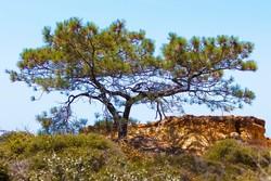 Torrey Pine_Pinus torreyana
