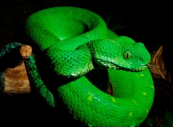Green Bush Viper_Atheris chlorechis