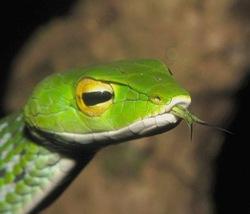 Günther's Vine Snake_Ahaetulla dispar