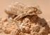 Helmethead Gecko_Tarentola chazaliae