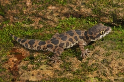 Jeypore Ground Gecko_Geckoella jeyporensis