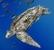 Leatherback_Dermochelys coriacea
