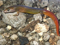 Ono-i-Lau Ground Skink_Leiolopisma alazon