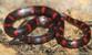 Texiguat Earth Snake_Geophis damiani