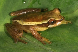 Continental Divide Treefrog_Isthmohyla graceae