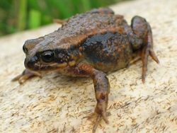 Osgood's Ethiopian Toad_Altiphrynoides osgoodi
