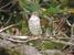 Mauritius Kestrel_Falco punctatus