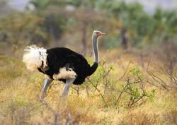 Somali Ostrich_Struthio molybdophanes
