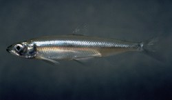 Delta Smelt_Hypomesus transpacificus