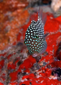 Hawaiian Whitespotted Toby_Canthigaster jactator