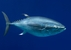 Pacific Bluefin Tuna_Thunnus orientalis