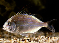 Threadfin Porgy_Evynnis cardinalis