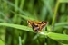 Black Grass-dart Butterfly_Ocybadistes knightorum