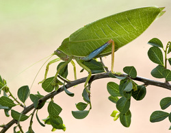 Blue-legged Sylvan Katydid_Zabalius ophthalmicus