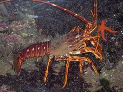 Common Spiny Lobster_Palinurus elephas