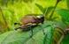 Lila Downs' Friar Grasshopper_Liladownsia fraile