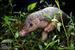 Chinese Pangolin_Manis pentadactyla