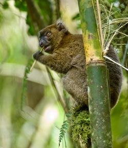 Greater Bamboo Lemur_Prolemur simus
