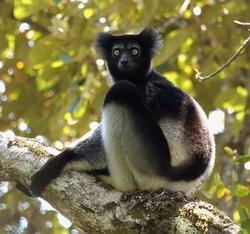 Indri_Indri indri
