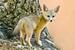 Kix Fox_Vulpes macrotis