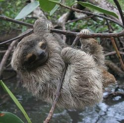 Pygmy Three-toed Sloth_Bradypus pygmaeus