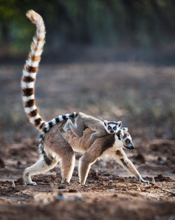 Ring-tailed Lemur_Lemur catta