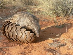 Temminck's Ground Pangolin_Smutsia temminckii