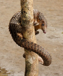 White-bellied Pangolin_Phataginus tricuspis