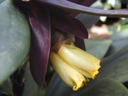Costus vinosus