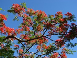 Flame Tree_Delonix regia