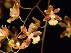 Grandiphyllum schunkeanum