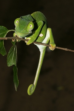 Common African Flap-necked Chameleon_Chamaeleo dilepis