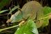 Giant East Usambara Blade-horned Chameleon_Kinyongia matschiei
