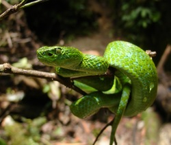 March's Palm Pit Viper_Bothriechis marchi