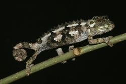 Spiny-sided Chameleon_Trioceros laterispinis