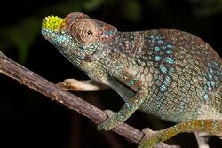 Usambara Flap-nosed Chameleon_Kinyongia tenuis
