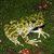 Ishikawas Frog_Odorrana ishikawae