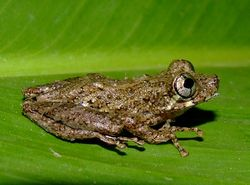 Scinax muriciensis