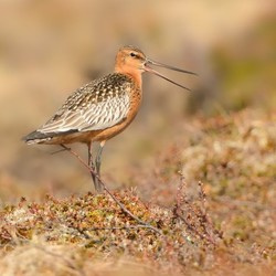 Bar-tailed Godwit_Limosa lapponica