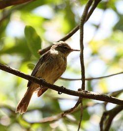 Seychelles Warbler_Acrocephalus sechellensis