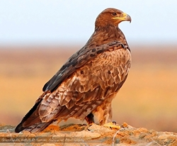 Steppe Eagle_Aquila nipalensis
