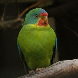 Swift Parrot_Lathamus discolor