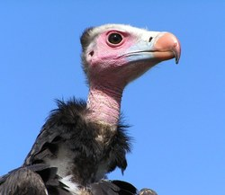 White-headed Vulture_Trigonoceps occipitalis