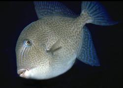 Gray Triggerfish_Balistes capriscus