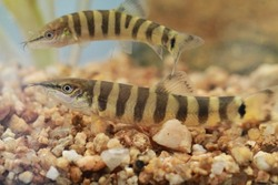 Kissing Loach_Parabotia curtus