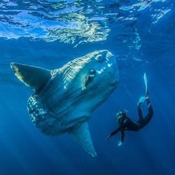 Ocean Sunfish_Mola mola