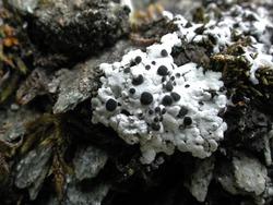 Starry Breck Lichen_Buellia asterella