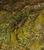 Mahe Boulder Cricket_Phalangacris alluaudi
